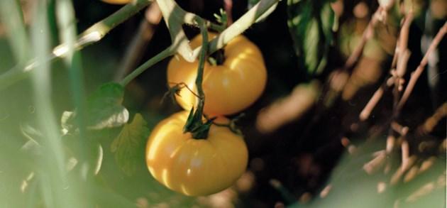De geur van tomaten als je een jaar niks geroken hebt