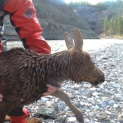Canadese kajakkers redden elandkalfje uit kolkende rivier