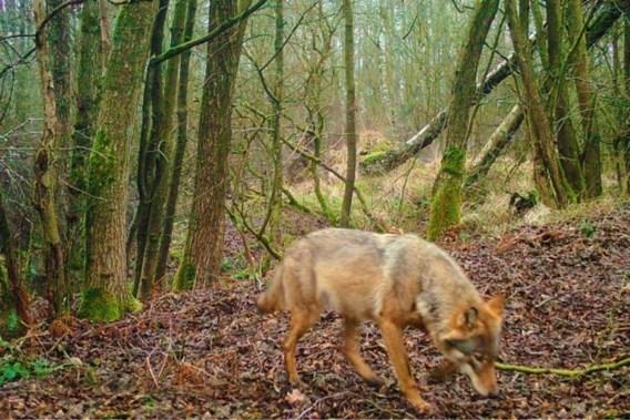 Vier nieuwe welpen van wolvin Noëlla gesignaleerd