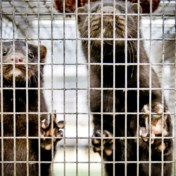 Laatste Vlaamse pelsdierkwekerijen stoppen ermee