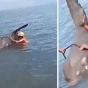 Zeldzame vis van ruim 200 kilogram spoelt levend aan op strand: 'Zoekt instinctief hulp wanneer hij gewond is'