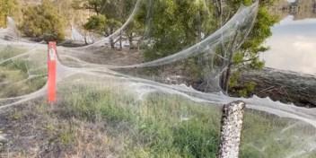 Spinnen weven enorme webben om te ontkomen aan overstromingen in Australië