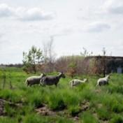 Hoe grazende schapen afgebrand militair domein weer gezond maken