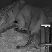 Leeuwendrieling geboren in Antwerpse Zoo