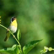 Zingen vogels volgens hetzelfde toonstelsel als mensen?