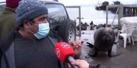 Zeeleeuw verstoort interview over zeeleeuwenplaag