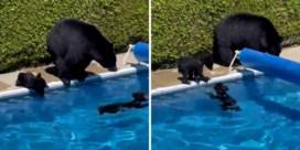 Berenwelpjes ontsnappen met duik in zwembad aan Canadese hittegolf