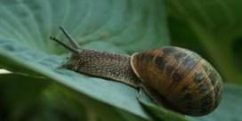Een toevloed aan slakken in de tuin? Dit kunt u ertegen doen