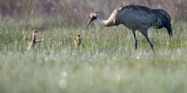 Voor het eerst twee kraanvogels geboren in België