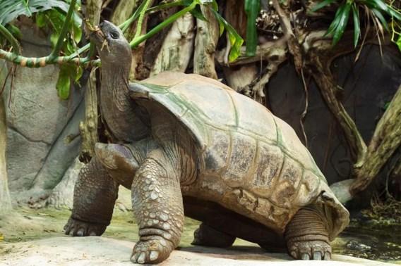Reuzenschildpad Schurli op (minstens) 130-jarige leeftijd in Weense zoo overleden