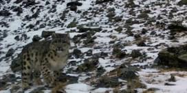 Voor het eerst in vijf jaar sneeuwpanter gespot in Kazachstan