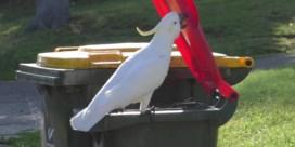 Ook vogels hebben hun subculturen