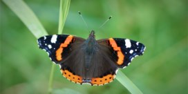 Atalanta meest getelde vlinder tijdens recordeditie Grote Vlindertelling