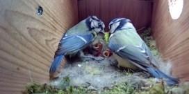 Livestream van nest pimpelmezen al meer dan 41 miljoen keer bekeken