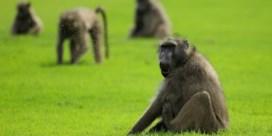 Bij bavianen dragen de sterkste schouders niet de zwaarste lasten
