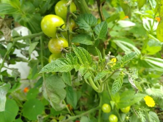 Red de tomaten: aanhoudende regen leidt tot schimmelinfecties