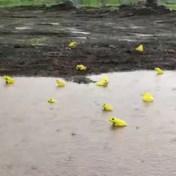 Felgele kikkers gespot in India