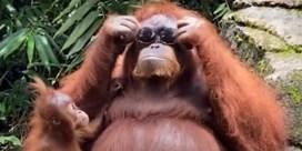 Orang-oetan zet zonnebril van bezoeker op en ruilt die later