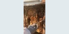 Bijna half miljoen bijen na 35 jaar eindelijk uit huis verwijderd
