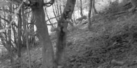 Primeur: wildcamera maakt bewegende beelden van lynx in België