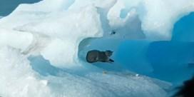 Verbaasde toeristen spotten wilde poema op drijvende ijsberg