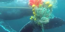 Surfers slaan alarm om walvis die verstrikt raakte in haaiennet