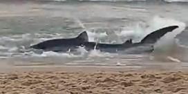 Blauwe haai jaagt strandgangers in Benidorm uit het water