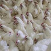 Colruyt, Okay en Delhaize gunnen kippen beter leven