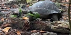 'Afschuwelijk en fascinerend': reuzenschildpad eet jonge vogel op