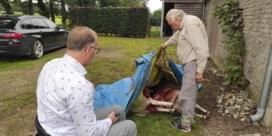 Opnieuw twee schapen doodgebeten door wolf in Peer