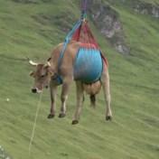 Koeien vliegen over Zwitserse Alpen bij reddingsactie