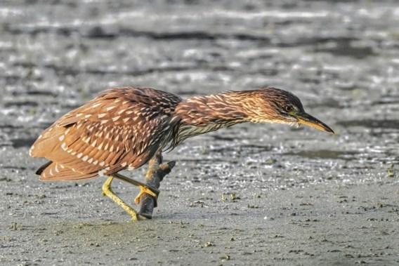 Donkmeer in Berlare kan uitpakken met twee jonge kwakken: 'Hart onder de riem van natuurbeheerders'