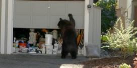 Wilde beren zetten geëvacueerde stad in Californië op stelten