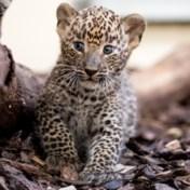Zoo deelt beelden geboorte zeldzame panter
