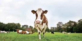'Minder broeikasgas? Leer koeien naar het toilet gaan'
