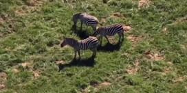 Zes losgebroken zebra's zwerven rond in Amerikaans dorpje
