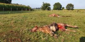 Nu ook pony's ten prooi aan wolf in Limburg