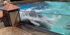 Activisten pleiten voor bevrijding van 'eenzaamste orka ter wereld'