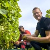 Kletsnatte zomer zorgt voor kwart minder Limburgse wijn