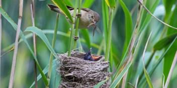 Hoe weet een koekoeksjong wat te roepen als het geboren wordt in het nest van een andere vogel?