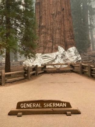 Grootste boom ter wereld wordt ingepakt om hem te beschermen tegen bosbrand