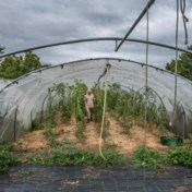 De zomer van de verschrompelde tomaten