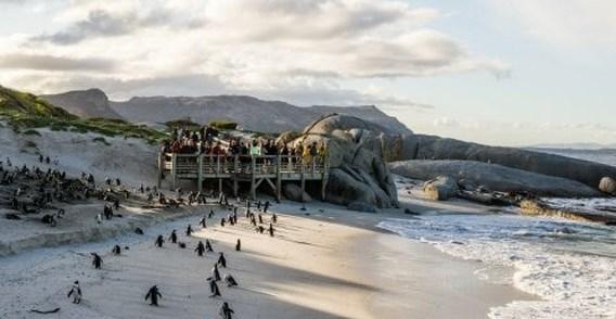Bedreigde pinguïns sterven massaal door bijensteken in Zuid-Afrika