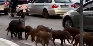 Burgemeester Rome: 'Everzwijnen worden tegen mij gebruikt'