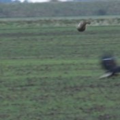 Haas verrast jagende arend door erover te springen