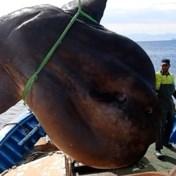 Spaanse vissers vangen 'per ongeluk' enorme maanvis