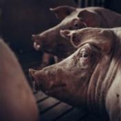 Stikstofscenario viseert varkens- en kippenhouders