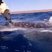 Labrador en walvishaai neus aan neus in Australische wateren: 'Dit is zo cool'