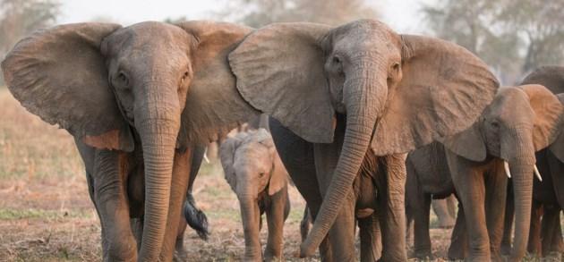 Stropers veranderen uitzicht van olifanten