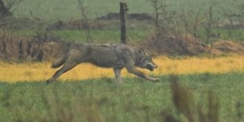 Wolf laat zich filmen in Limburgse gemeente Opoeteren